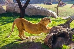Une lionne s'étirant sur une roche photos libres de droits