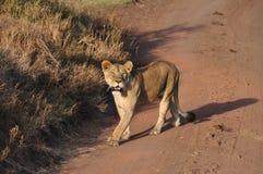 Une lionne traversant la route Photos stock