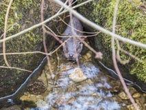 Une loutre dans une crique Photo stock