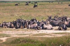 Une mère de gnou et un veau nouvellement soutenu, cratère de Ngorongoro, Tanz Image stock