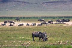 Une mère de gnou et un veau nouvellement soutenu, cratère de Ngorongoro, Tanz Photo libre de droits