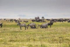 Une mère de gnou et un veau nouvellement soutenu, cratère de Ngorongoro, Tanz Photos stock