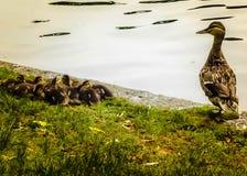Une mère Duck Keeps Watch au-dessus de sa couvée au jardin public de Boston Photos libres de droits