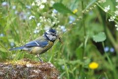 Une mésange bleue avec une chenille dans sa facture Photo stock