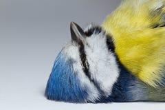Une mésange bleue décédée Photos libres de droits