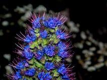 Une macro photographie de fierté pourpre de fleur de la Madère dans un printemps à un jardin botanique image stock