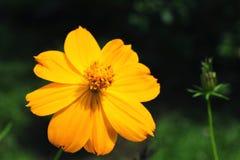 Une macro vue d'un cosmos de Klondike, ou cosmos orange en fleur photographie stock