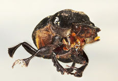 Une macro vue d'un scarabée de scarabée Image stock