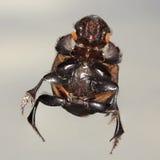 Une macro vue d'un scarabée de scarabée Images libres de droits