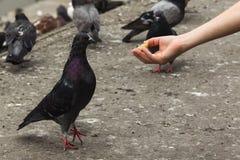 Une main du ` s d'enfant étire un morceau appétissant et délicieux de Br photos libres de droits