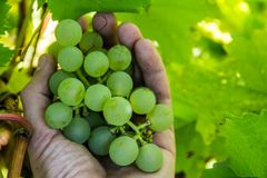 Une main du ` s d'homme arrache un groupe de raisins verts mûrs d'une branche Baie utile pour des enfants et des adultes Récolte  image libre de droits