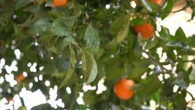 Une main du ` s d'homme déchire les mandarines mûres d'un arbre Oranges de sélection d'agriculteurs dans le verger l'espagne banque de vidéos