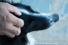 Une main du ` s d'homme touche la tête du ` s de chien photos stock