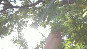 Une main du ` s de femme prend un fruit mûr d'un arbre un jour ensoleillé banque de vidéos