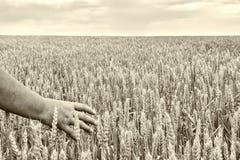 Une main femelle dans les oreilles du blé, dans le domaine dépassant l'horizon, dans la perspective du ciel et des nuages, noir-e photographie stock
