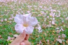 Une main femelle tenant une fleur rose douce de fleur de tabebuia avec les corolle roses brouillées d'abondance sur un champ vert photo libre de droits