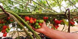 Une main tient un groupe de tomates-cerises rouges et vertes Photo libre de droits