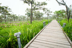 Une manière de promenade en Siam Tulip Field Photographie stock