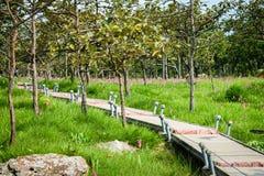 Une manière de promenade en Siam Tulip Field Photos stock
