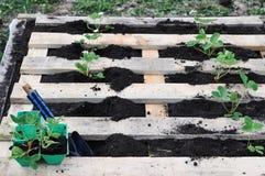 Une mani?re peu commune de planter des jeunes plantes de fraise dans les lits de vieilles palettes photos libres de droits