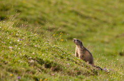 Une marmotte alpestre dans l'habitat d'it´s Photo stock