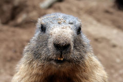 Une marmotte curieuse Images libres de droits