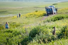 Une marmotte d'Amérique observe des personnes marcher dans le domaine Jour d'?t? ensoleill? Animaux mignons de steppe Pr? avec le photos libres de droits