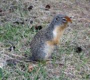Une marmotte dans les montagnes rocheuses canadiennes Photos stock