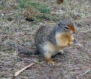 Une marmotte dans les montagnes rocheuses canadiennes Image stock