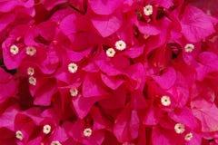 Une masse de bouganvillée en rouge de carmin Photo libre de droits