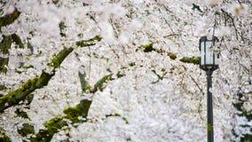 Une mer de Cherry Blossoms Fill The Air blanc sans fin et de la terre pour faire le rêve le plus romantique au printemps Photographie stock