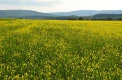 Une mer des fleurs jaunes dans le domaine de luzerne sur les collines de New York hors de la ville Photo libre de droits