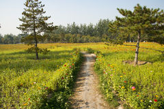 Une mer des fleurs, Zinnia Photos libres de droits
