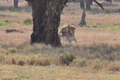 Une mise à mort de lion d'un zèbre grevy 2 Images libres de droits