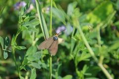 Une mite brune avec une t?te orange photo libre de droits