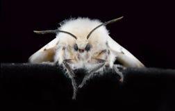 Une mite gitane femelle Photographie stock