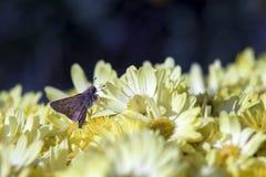 Une mite sur les marguerites jaunes Photos libres de droits
