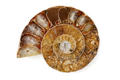Une moitié polie d'ammonite fossile D'isolement sur le fond blanc Images libres de droits