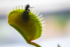 Une mouche attrapée dans Venus Flytrap Photos libres de droits