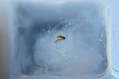 Une mouche congelée en glace Image libre de droits