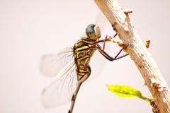 Une mouche de dragon prenant un bain de soleil photos libres de droits