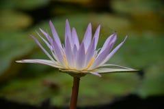 Une mouche de dragon sur un lotus d'angle différent Image stock