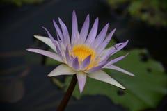 Une mouche de dragon sur un lotus rose Images libres de droits