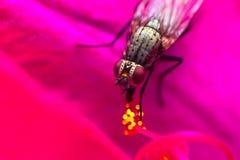 Une mouche de pollinisateur sur le pollen de fleur photographie stock libre de droits
