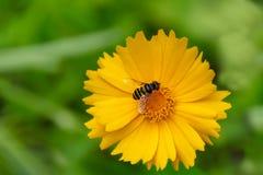 Une mouche de vol plané sur la fleur jaune sur le fond vert Photo libre de droits