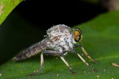 Une mouche de voleur couverte de rosée sur la lame verte Photo libre de droits