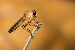 Une mouche de voleur se reposant sur une branche sèche pendant le matin Photographie stock libre de droits
