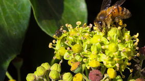 Une mouche et une abeille de miel banque de vidéos