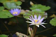 Une mouche minuscule de dragon détendant sur un lotus Images libres de droits