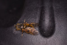 Une mouche ou une guêpe orange Images stock